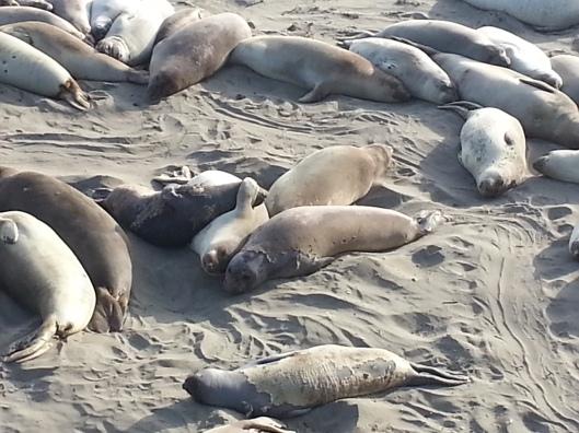 Elephant Seal Beach, Piedras Blancas