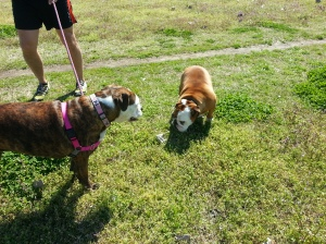 Agnes meets a fellow bulldog Joy