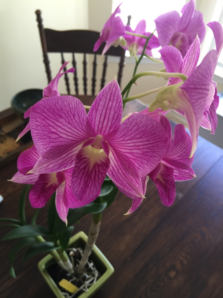 Dendrobium Tanida Pink orchid from Carter and Holmes Orchids