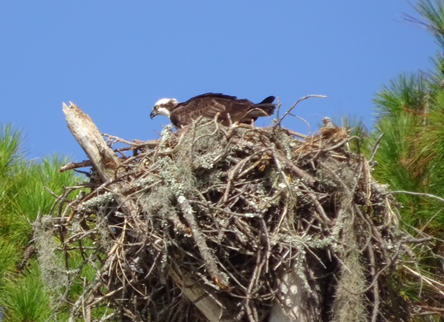 Osprey at Hunting Island State Park